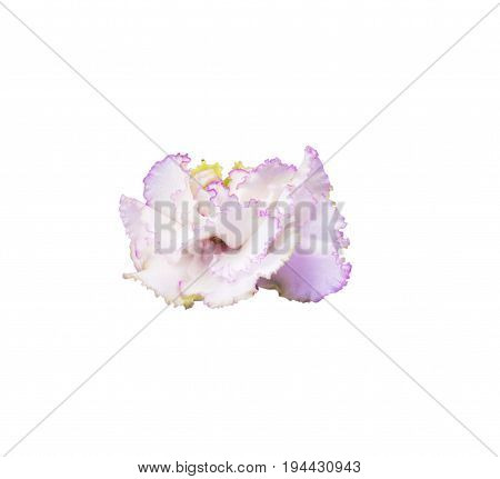 White mother-of-pearl violet with lilac edging isolated on white background with a cutting outline