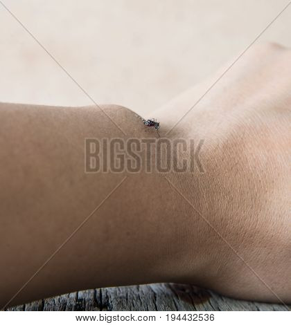 Close up of a mosquito sucking blood