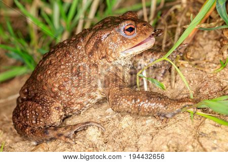 The European toad eats insect. Horizontal position.