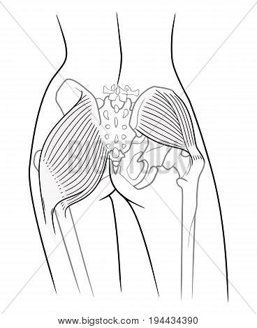 The internal structure of the pelvic girdle female skeleton and gluteus maximus and gluteus medius muscle rear view. On a white background