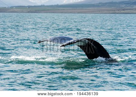 The cool clear North Atlantic and Arctic Oceans encircling Iceland are teeming with whales of various sizes and species