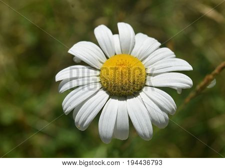 Beautiful flowering wild English lawn daisy blooming.