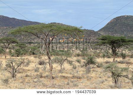 The African savannah in Kenya in Africa