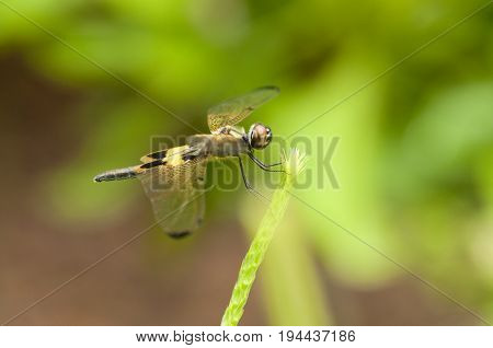 Yellow-barred Flutterer (Rhyothemis phyllis) dragonfly is perching on a plant
