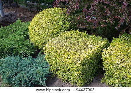 Landscape design. Nicely trimmed bushes in the garden