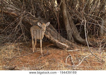 A Dikdik antelope in the savannah of Kenya