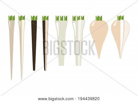 The rhizomes and roots: horseradish salsify meadow black salsify and parsnip. General view and in section on a white background