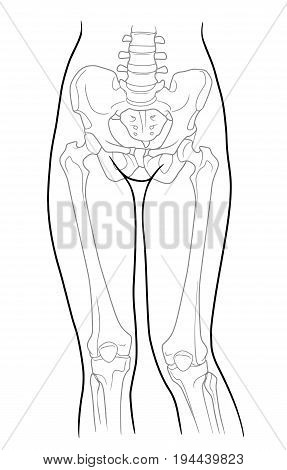 Build pelvic girdle and lower limb girdle knee female skeleton and bones of the legs front view. On a white background