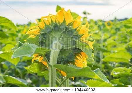 Big sunflower turns to the sun. Back view of the flower
