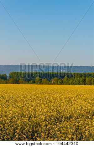 an explosion of yellow blooming of the rapeseed plant /a field of yellow rapeseed flowers illuminated by the sun
