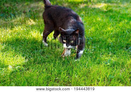 Black cat hunted a sparrow bird on beautiful green grass background