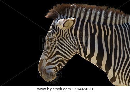 zebra in front of a black background