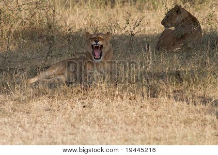 Lion in wildlife poster