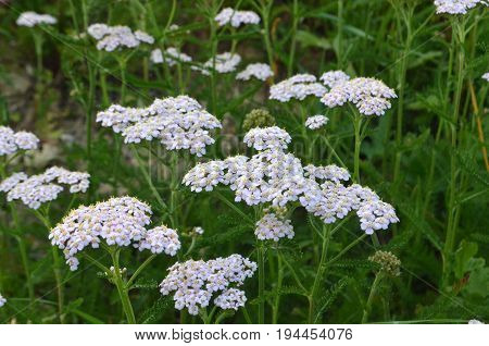 Achillea millefolium - A closeup of a red and black bug on a white wild meadow flower healing herb