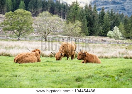 Highland cattle dwelling in the field, Scotland, UK