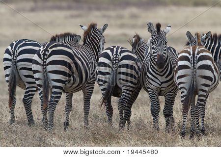 Zebra in National Park