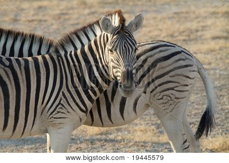 Zebra in high detail poster