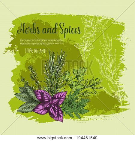Herb and spice with fresh leaf of vegetable greens sketch poster. Red basil, rosemary, thyme, parsley, arugula, dill and sage branches with green leaf for natural spice and condiment ingredient design