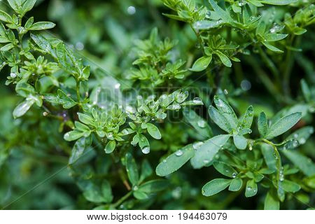 Wet plant of common rue (Ruta graveolens)