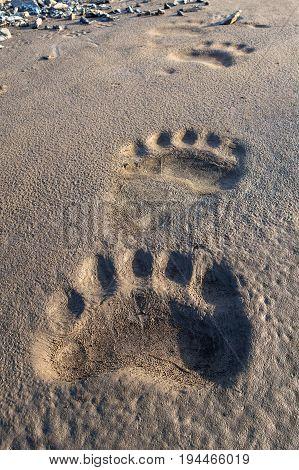 Polar bear footprint in the mud Svalbard