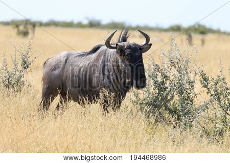 Lone Blue Wildebeest Standing On The Dry Empty Plains In Etosha National Park, Namibia, Southern Afr