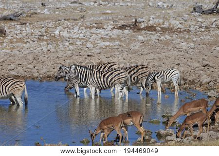 Zebras And Springboks Drinking Water At Waterhole, Etosha National Park, Namibia