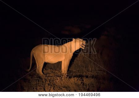 Lioness Stalking Her Prey On A Night Hunt. Lit With A Single Spotlight From A Tracking Vehicle