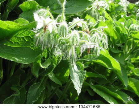 Borage wit flowers and buds in herb garden