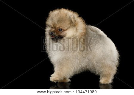 Groomed miniature Pomeranian Spitz puppy Standing on black isolated background, side view
