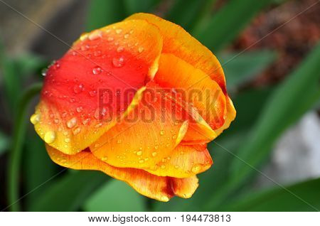A close up of a yellow red orange tulip head with rain drops and dew on petals
