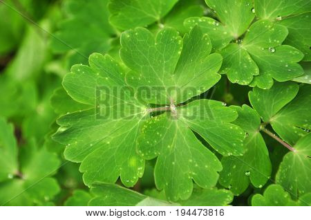 Bright green leaves of a garden plant with rain drops water dew top view full frame