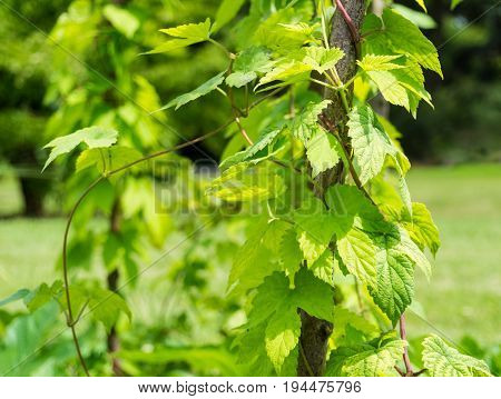 Close-up  of a Hops Plant. View on growing Hops in Summer. Green Leaves of a Hops Plant. Humulus lupulus.