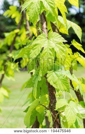 Close-up  of a Hops Plant. View on growing Hops in Summer. Green Leaves of a Hops Plant. Humulus lupulus
