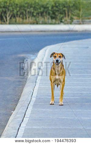 Urban scene adult street dog standing at sidewalk watching the camera