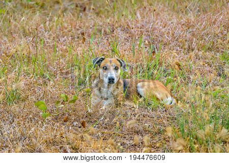 Front view adult street dog resting at grass