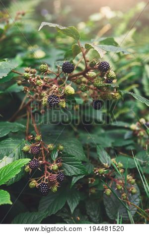 Wild blackberry growing on branch in forest, close-up
