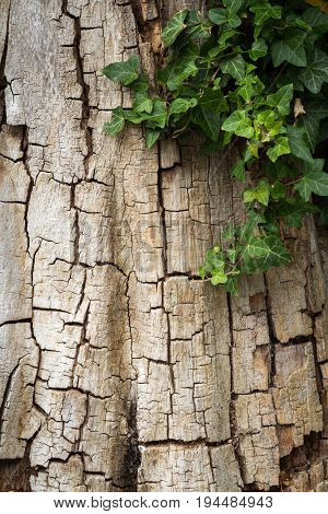 Weathered cracked oak tree bark partially covered in ivy, vertical with copy space