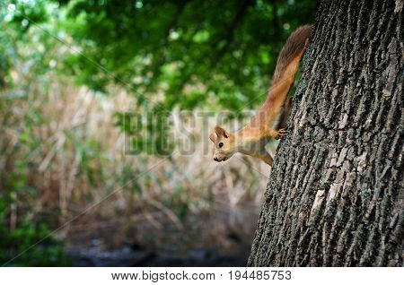 Squirrel with red fur sits on a tree in a summer forest. Mammal is a rodent animal against a background of wildlife. Stock Photo.