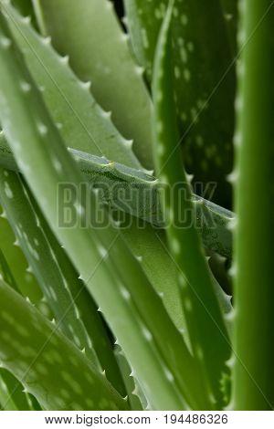 Aloe Vera Plant.green Background.texture Of Plant.aloe Texture Background