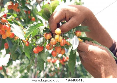 Cropped image of man's hands plucking cherries