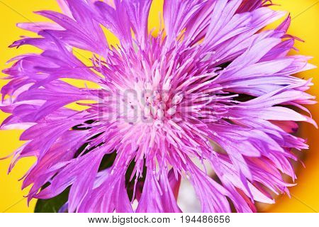 Close up of the blooming whitewash cornflower.Purple flower on yellow background