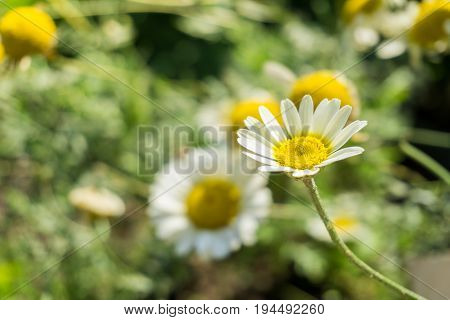Close-up of a white Flower in Summer. View on a beautiful white Flower in Sunlight, Blooming Flowers in Summer. The Chamomile Flower is a medical Plant.