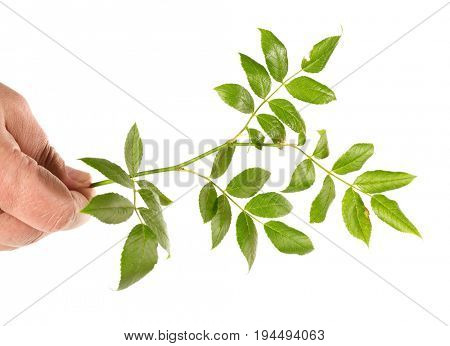 Branch of a dogrose in the hand, isolated on a white background