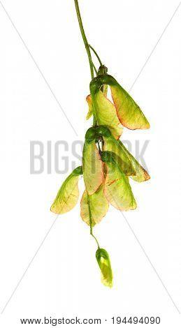 Maple seeds isolated on white background