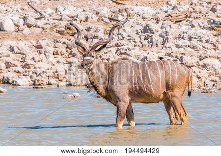 A greater kudu bull Tragelaphus strepsiceros standing in a waterhole