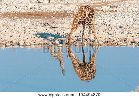 A Namibian giraffe giraffa camelopardalis angolensis drinking. The reflections of two giraffes are visible