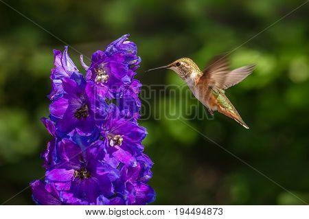 Rufous Hummingbird in Flight with Iridescent Delphinium