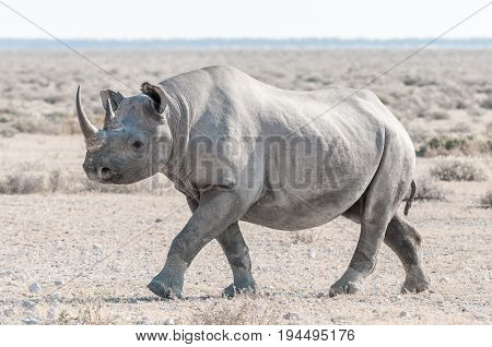 An endangered black rhino Diceros bicornis walking. It is covered with white calcrete dust