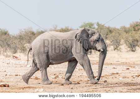 An African elephant Loxodonta africana walking in Northern Namibia