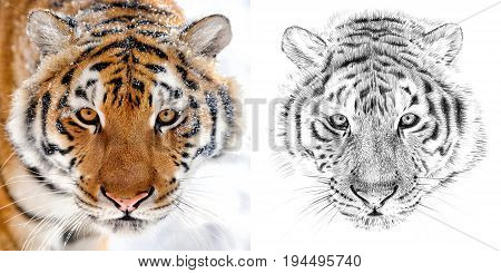 Portrait of tiger before and after drawn by hand in pencil. Originals no tracing